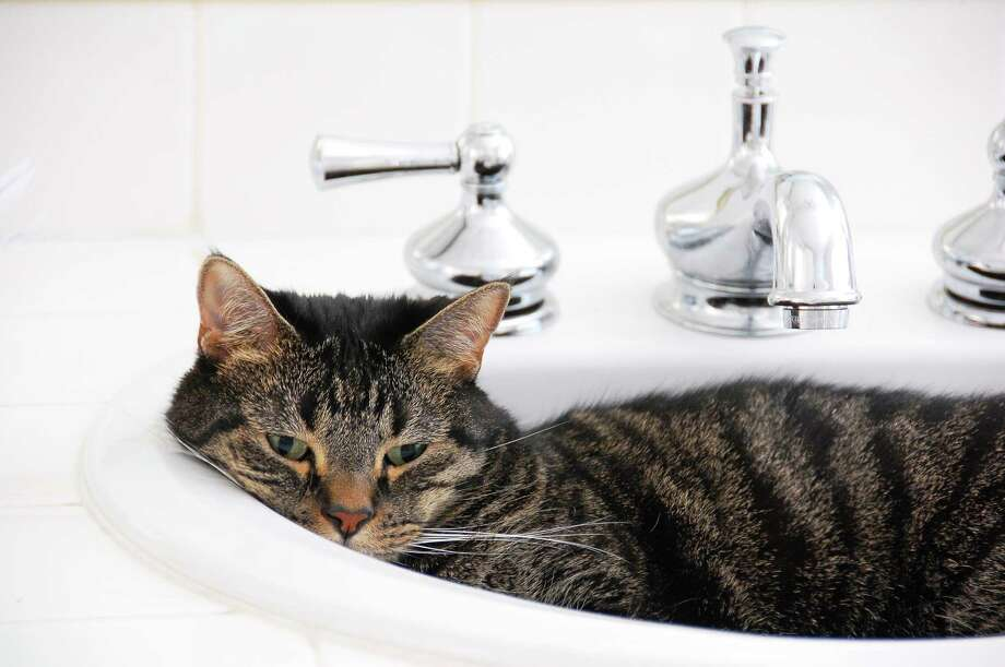 Some cats like to curl up in bathroom sinks, but this is not the cat that left a Houston sportscaster exposed on Facebook for 39 minutes. Photo: --