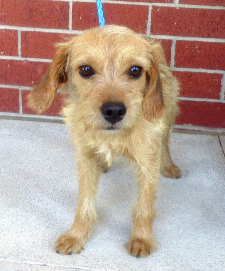Next up is Lucy Lu a 3 year old Wheaten Terrier mix girlfriend.  She was a stray found wandering at the very busy intersection