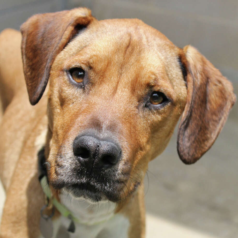 Ralphie is a 1-year-old boxer/hound mix who was transferred from San Antonio Animal Care Services. Ralphie is a friendly guy with lots of love to give.