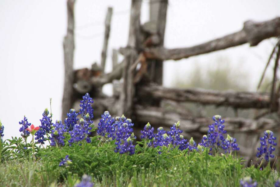 Bluebonnets at a fence at Chappell Hill in March 2009 Photo: Coph, Reader / Beaumont