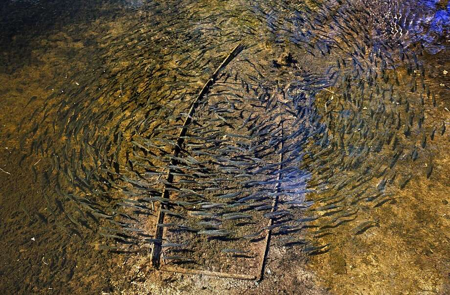 A large school of alewives circles over a sunken skiff in Mill Pond, Friday, May 10, 2013, in Nobleboro, Maine. The foot-long fish were congregating in the freshwater pond on their journey from the Atlantic Ocean to their spawning grounds in Damariscotta Lake. Photo: Robert F. Bukaty, Associated Press