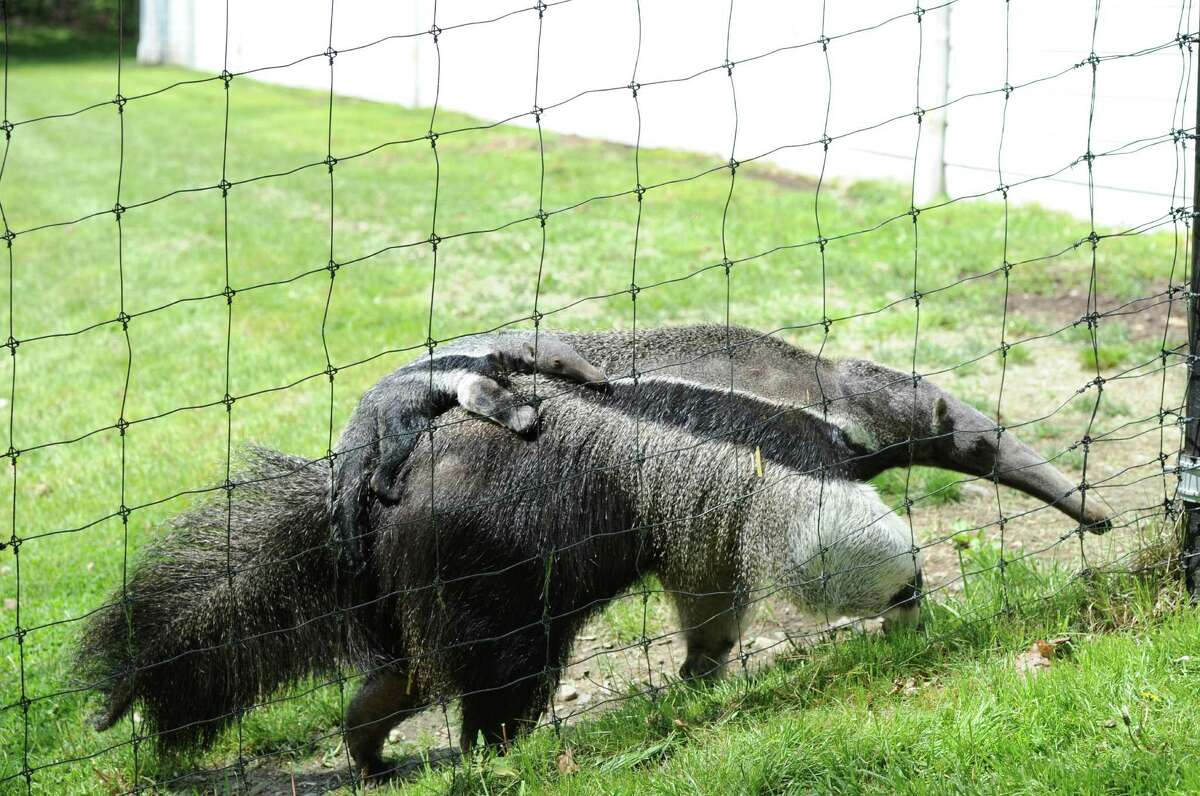 Armani, a giant anteater, with her baby, Archie, a male, clinging to her back, at the LEO Zoological Conservation Center in Greenwich, Friday, May 10, 2013.