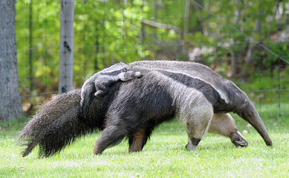 Armani, a giant anteater, and her baby, Archie, a male, clinging to her back, at the LEO Zoological Conservation Center at the center in Greenwich, Friday, May 10, 2013. Photo: Bob Luckey / Greenwich Time