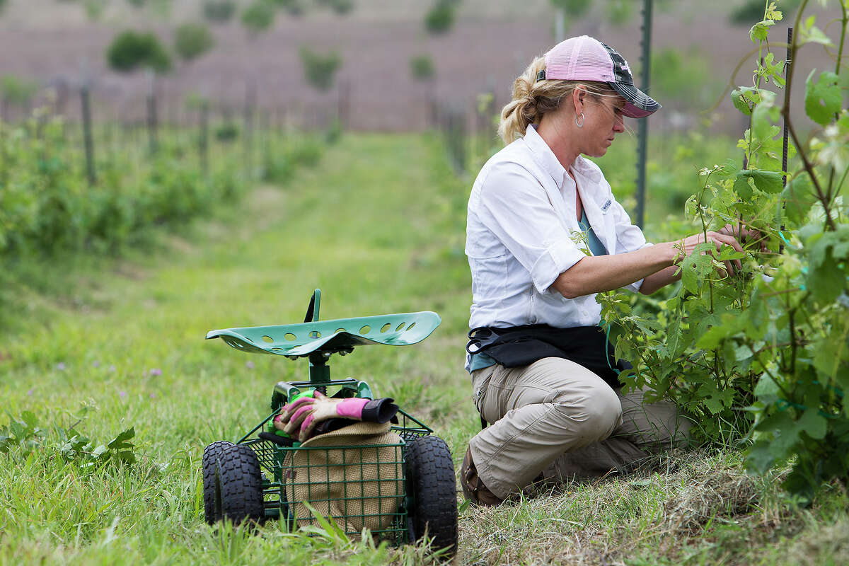 FOR NEWS - Jeanie McLaughlin works with Touriga Nacional vines at Robert Clay Vineyards in Mason, Texas on Wednesday, May 8, 2013. MICHAEL MILLER / FOR THE EXPRESS-NEWS