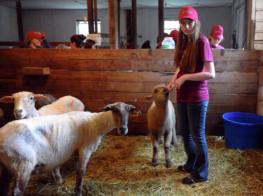 "Student Emily Sarnecky stands with some of the sheep in their stable, during the Trumbull Agriscience and Biotechnology Center's Farm Fair held at the center in Trumbull, Conn. on Saturday May 11, 2013. The fair included tractor hay rides, sheep shearing, a petting zoo, crafts fair and refreshments. According to the center's website, ""High school students from Trumbull and eight other surrounding towns participate in the Regional Agriscience and Biotechnology program, supported by the Trumbull Board of Education and the State of Connecticut."" Photo: Christian Abraham / Connecticut Post"