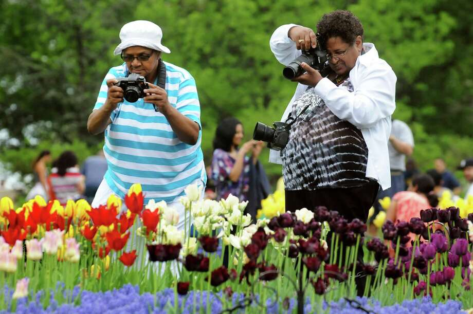 Lynda Jones, left, and her sister Barbara McLaughlin, both of Albany photograph the tulips during the Tulip Festival on Saturday, May 11, 2013, at Washington Park in Albany, N.Y. (Cindy Schultz / Times Union) Photo: Cindy Schultz / 00022344A