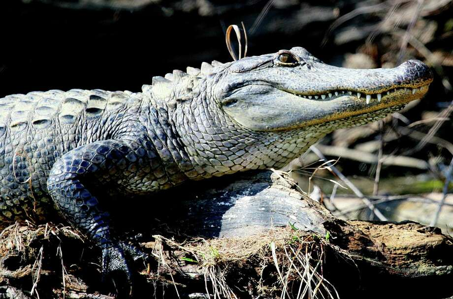 South Texas holds a surprising number of alligators, including some of the largest in the state. A 14-foot, 3-inch gator weighing a record 800 pounds, much larger than the reptile pictured, was taken last week from Choke Canyon Reservoir. Photo: Picasa
