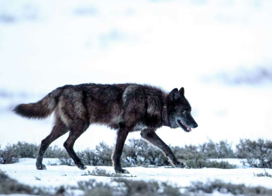 "This 2013 photo provided by Horsefeathers Photography shows a black wolf wearing a VHF radio collar that identifies it as Wolf ""831F,"" a member of the Yellowstone National Park's Canyon pack, in Swan Lake, Mont. Big game outfitter William Hoppe shot and killed this female wolf near where 13 sheep were killed in April. Leaders of a wolf advocacy group said Hoppe is intentionally luring the animals by leaving dead sheep carcasses in a pile. Photo: AP"