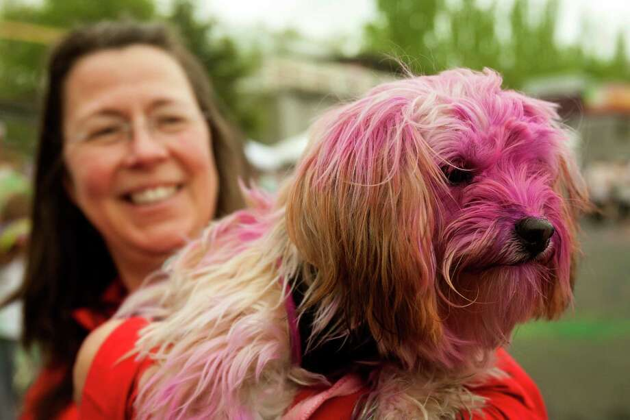Not even dogs were safe from the toss of vibrant dust at the Color Run 5k Sunday, May 12, 2013, in Seattle. The sold out event - also known as the Happiest 5k on the Planet - is a unique paint race celebrating healthiness, happiness and individuality. Photo: JORDAN STEAD, SEATTLEPI.COM / SEATTLEPI.COM
