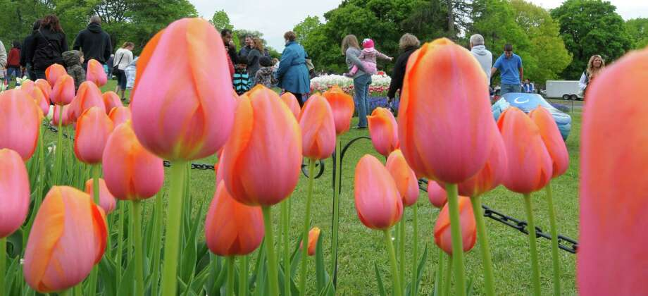 Visitors look over the tulips in bloom during the Albany Tulip Festival at Washington Park on Sunday, May 12, 2013 in Albany, NY.   (Paul Buckowski / Times Union) Photo: Paul Buckowski