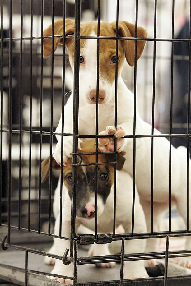 Tip for Pet Adoption Day in LaPorte, Ind. - stand on your cage mate's head so prospective owners can see you better. Photo: Bob Wellinski, Associated Press