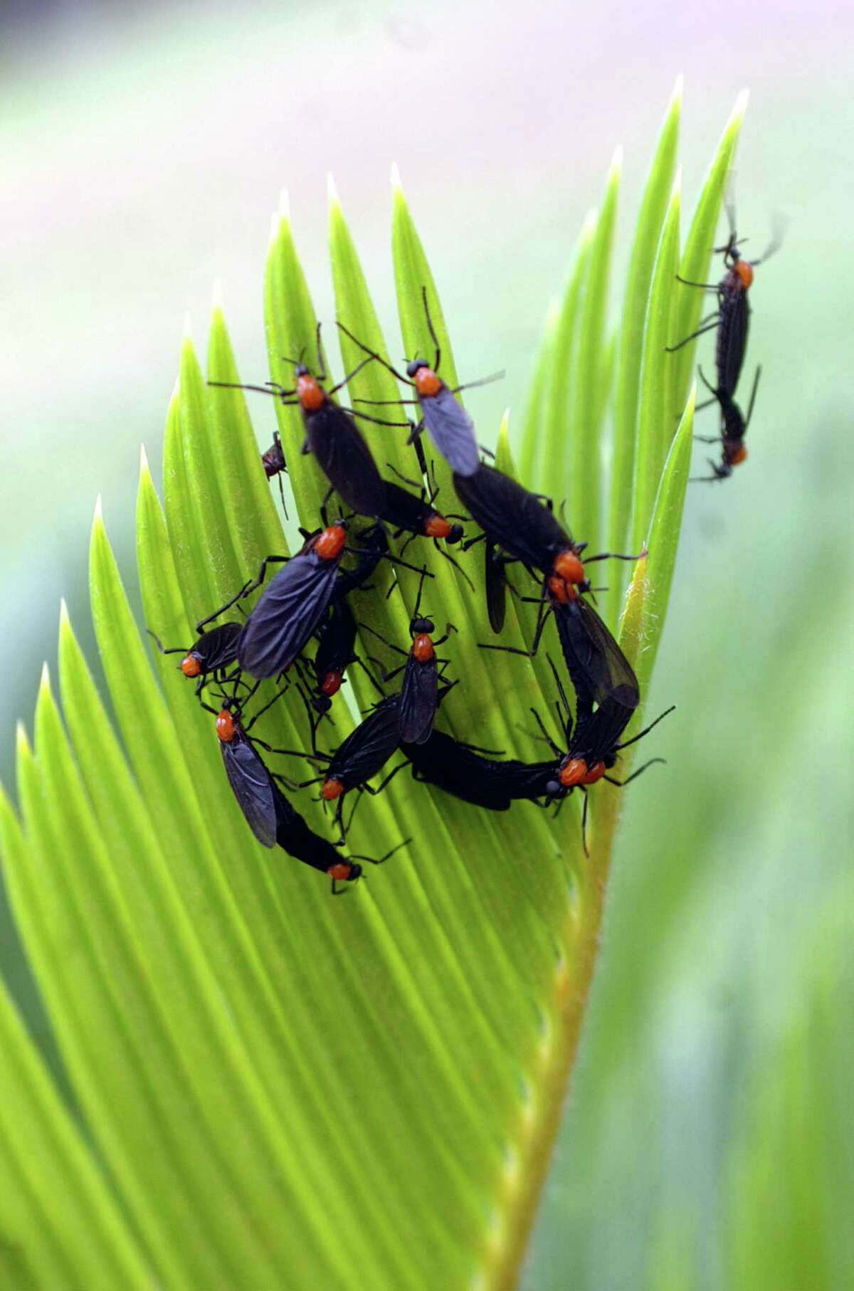 Lovebugs come out when temperatures first warm in the spring and again in the fall just before temperatures cool. Enterprise file photo.