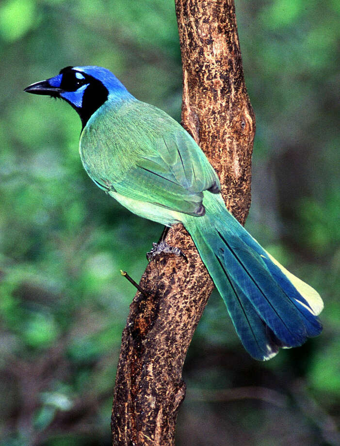The green jay is among hundreds of bird species in South Texas. Birders migrate yearly to the World Birding Center Headquarters in Mission. Photo: Texas Parks And Wildlife