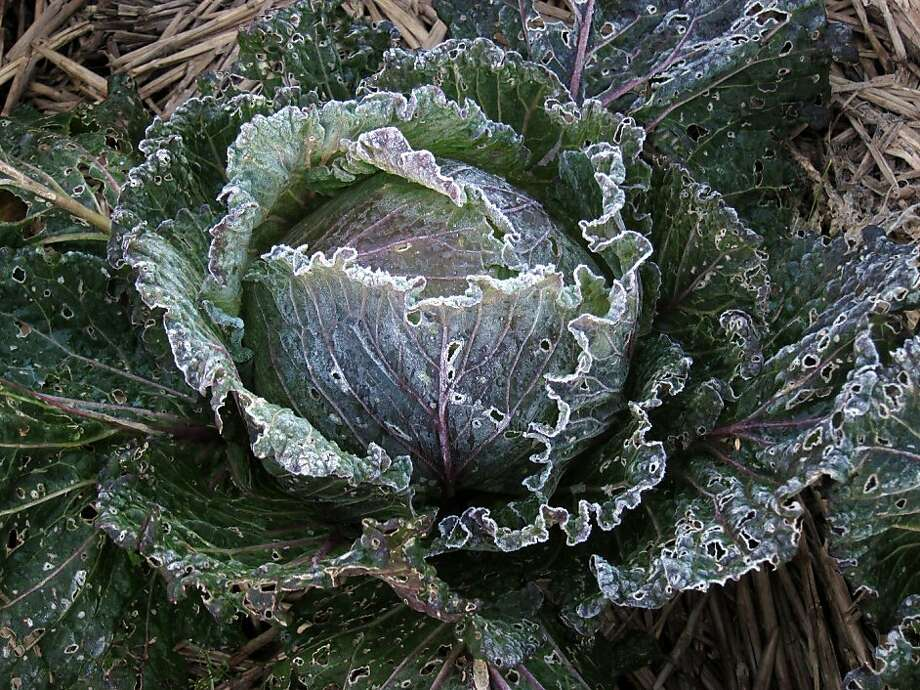 Does your Bay Area garden experience frost? Winter vegetable crops tolerate light frost. Cabbage even survives short periods at zero degrees Fahrenheit. Photo: Pam Peirce