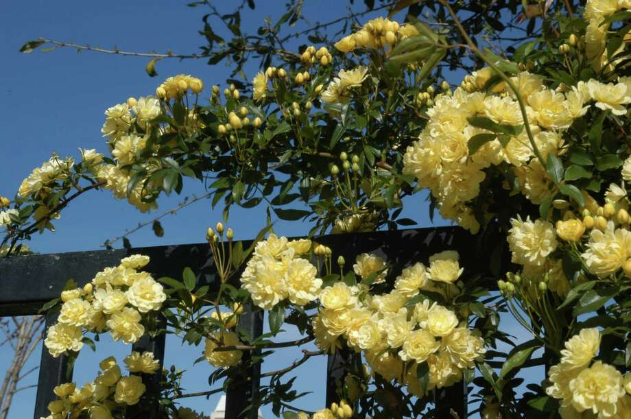 Trim Lady Banksia roses after they bloom in early spring. Photo: Neil Sperry