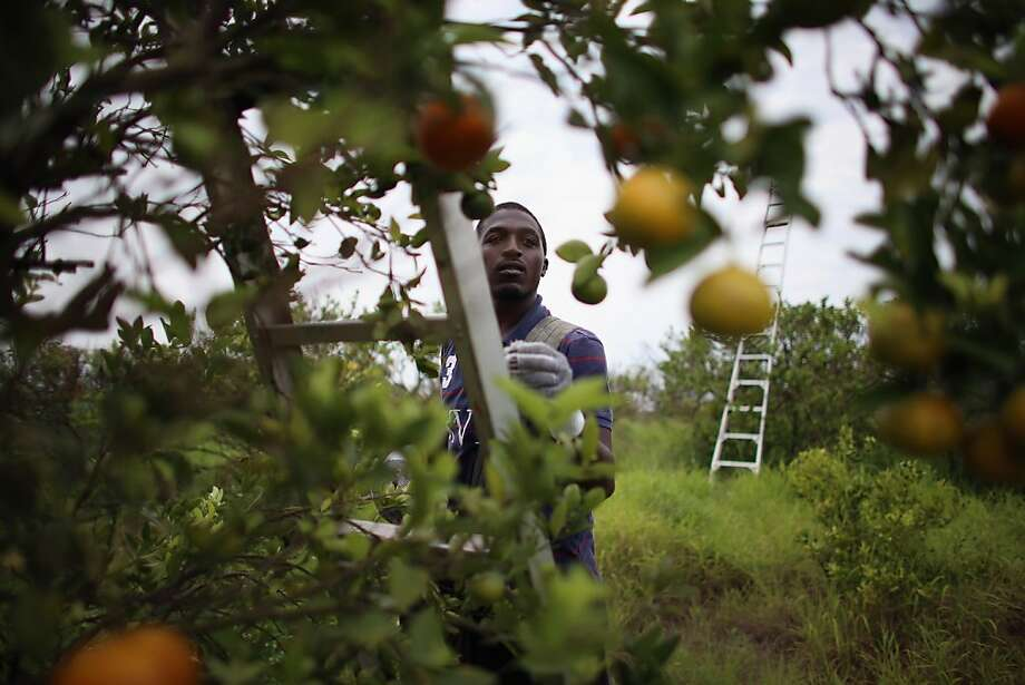 "FORT PIERCE, FL - MAY 13:  Lacedric Stovall harvests tangerines as the citrus industry tries to find a cure for the disease ""citrus greening"" that is caused by the Asian citrus psyllid, an insect, that carries the bacterium, ""citrus greening"" or huanglongbing, from tree to tree on May 13, 2013 in Fort Pierce, Florida. There is no known cure for the disease that forms when the insect deposits the bacterium on citrus trees causing the leaves on the tree to turn yellow the roots to decay and bitter fruits fall off the dying branches prematurely. Steps continue to be taken to try and combat the disease but none have stopped the attack on the citrus business as it spreads from Florida to other citrus producing states.  (Photo by Joe Raedle/Getty Images) Photo: Joe Raedle, Getty Images"