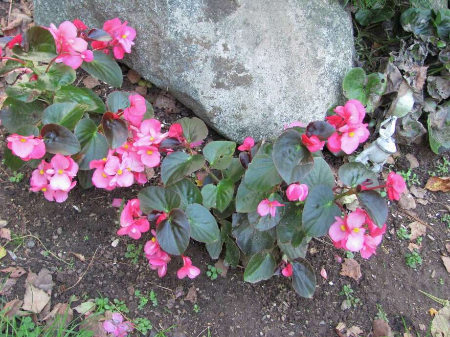 Angel wing begonias surround a stone and liven up the garden. Photo: Contributed Photo