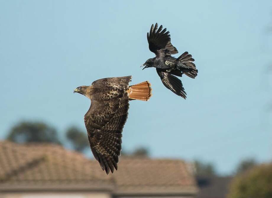Crows and other birds often dive-bomb and hassle hawks . . .