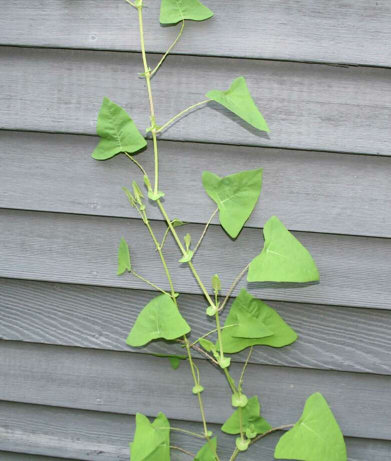 Conservation officials are asking town residents' help in rooting out the invasive plant known as Mile-a-Minute Vine, which they say can grow up to 6 inches daily and overwhelm native plants.  WESTPORT NEWS, CT 5/14/13 Photo: Contributed Photo / Westport News contributed