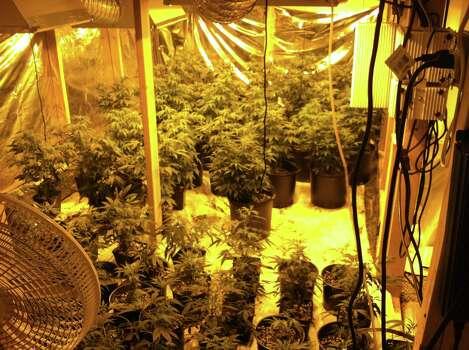 Law enforcement officers seized about 300 marijuana plants inside home