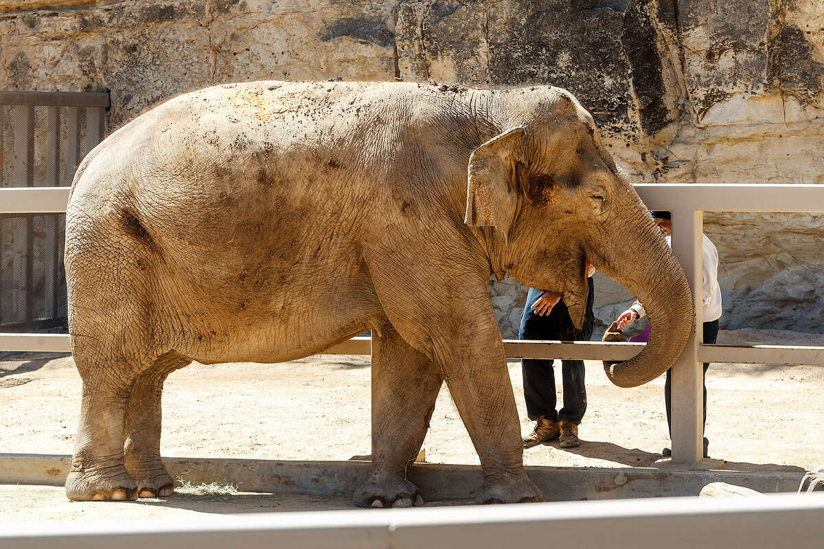 1. There are two types of elephants: Asian and African. Asian elephants are smaller than their African cousin. Asian elephants also have small, rounded ears, while African elephants have longer ears that look somewhat like the continent of Africa.