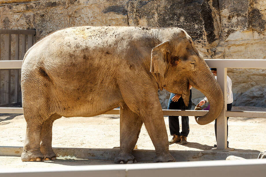 Lucky is the San Antonio Zoo's remaning elephant. Readers respond to an Express-News story about Lucky's quality of life. Photo: Marvin Pfeffier, San Antonio Express-News
