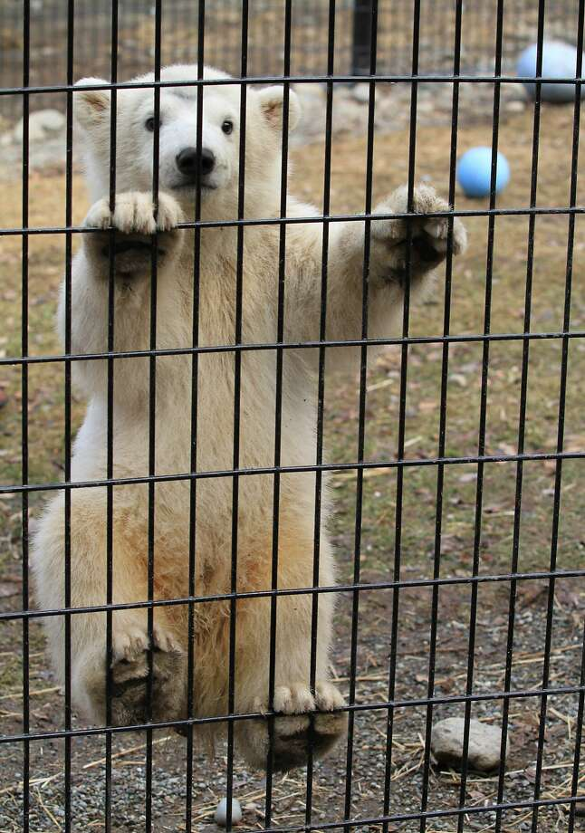 The Amazing Spider-Cub:Kali the orphaned polar bear cub tries to climb out of his cage at the Alaska Zoo in Anchorage. Don't look down, Kali! Photo: Dan Joling, Associated Press