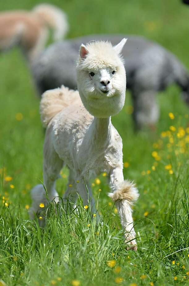 Went to SuperCuts, asked for 'the Poodle':An alpaca shows off its new haircut at the Alpaca-Land farm in Obertrum, Austria. The annual shearing is done  to make the animals more comfortable during the summer months. Photo: Kerstin Joensson, Associated Press