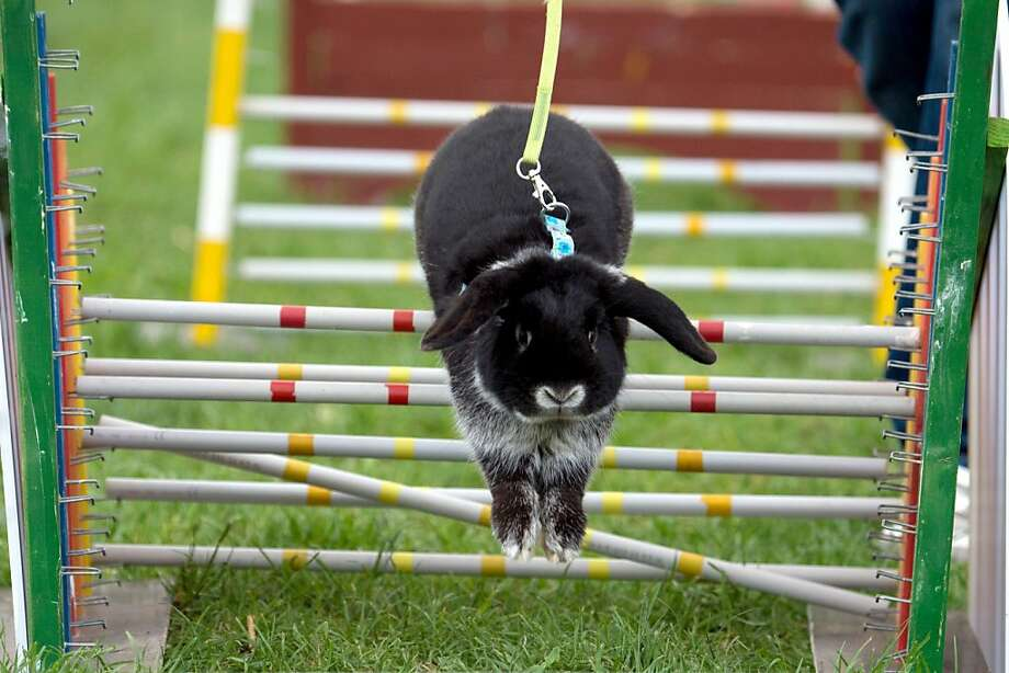 How a hare-foil works:Lops have an unfair advantage in the high hurdles at the Brandenburg   agricultural fair in Paaren/Glien, Germany, due to lift generated by the ears. Photo: Marc Tirl, AFP/Getty Images