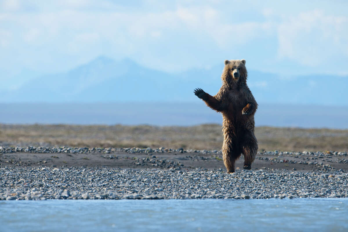 A barren ground grizzly bear in the coastal plain of Alaska's Arctic National Wildlife Refuge, where oil companies covet key wildlife habitat. Thinning ice is forcing polar bears ashore and into competition with grizzlies for food.