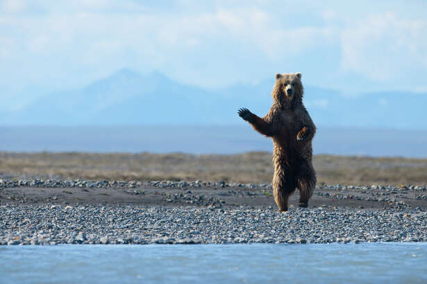 A barren ground grizzly bear in Alaska's high arctic, where oil companies covet key wildlife habitat. Thinning ice is forcing polar bears ashore and into competition with grizzlies for food.