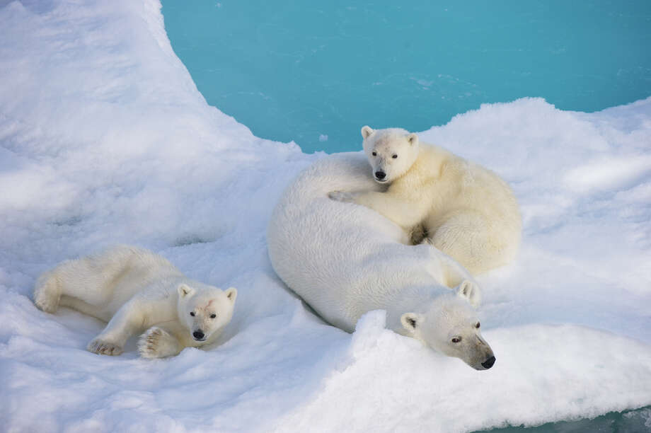 A mother polar bear and two cubs, photographed off Svalbard in the Norwegian Arctic. Photo: Florian Schulz, Visionsofthewild.com / (C) Florian Schulz / visionsofthewild.com