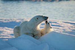 Mother and cub, nuzzling polar bears in the Norwegian Arctic.