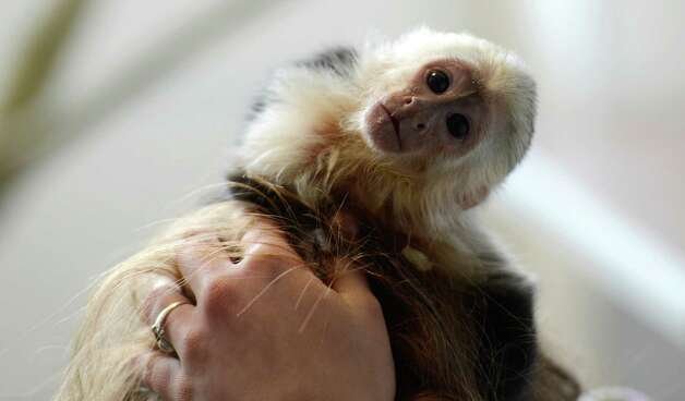 "FILES -  Capuchin monkey ""Mally"" of Canadian singer Justin Bieber is seen in a home for animals in Munich, southern Germany, on April 2, 2013. As German authorities said on May 13, 2013, the monkey will become property of Germany, as Bieber's claims will expire by the end of the week, and neither Bieber himself, nor his management have tried so far to get back the animal. German customs authorities had confiscated the monkey during the entry of Justin Bieber at the Munich airport at the end of March 2013. Bieber had arrived without health documents for his capuchin monkey.    AFP PHOTO / CHRISTOF STACHECHRISTOF STACHE/AFP/Getty Images Photo: CHRISTOF STACHE, AFP/Getty Images / AFP"