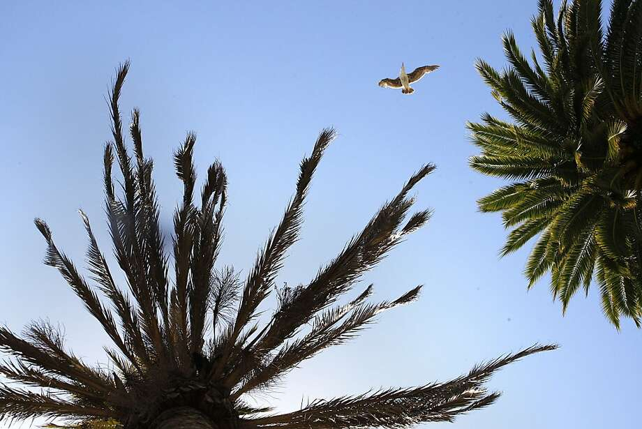 A seagull flies between a palm tree infected with fusarium wilt (left) and a healthy palm at Justin Herman Plaza. Photo: Liz Hafalia, The Chronicle