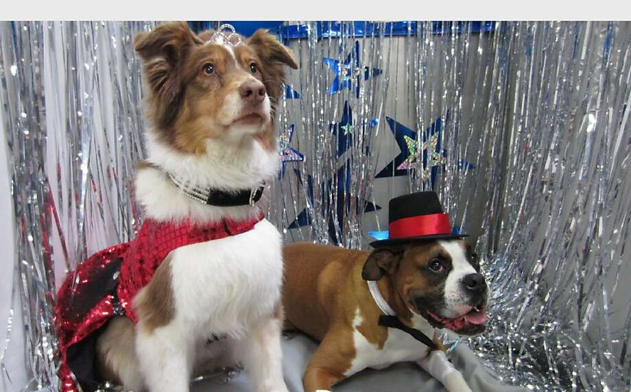 Pet prom:Asa and Apollo pose for their formal couples portrait at the Best Friends Pet Care Doggy Prom in Chicago. More than 600 canine couples are attending 38 proms across the country. Photo: Associated Press