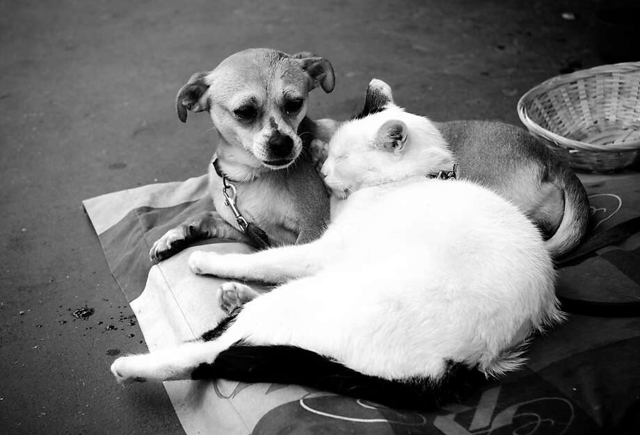 Their favorite movie is 'Homeward Bound': In a quieter part of the Cannes Film Festival, a cat and a dog cuddle.  Photo: Gareth Cattermole, Getty Images