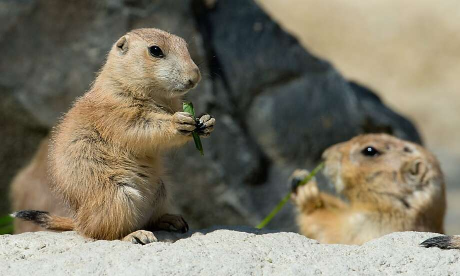 You mean this isn't a real prairie? A young and an adult prairie dog sit in their enclosure at the zoo in Hanover, central Germany. Photo: Julian Stratenschulte, AFP/Getty Images