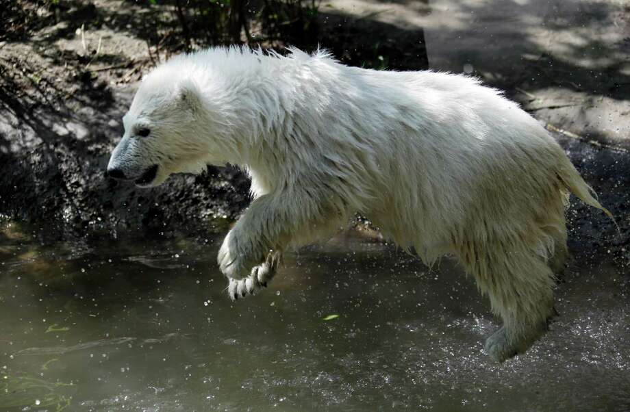 Luna, a resident polar bear cub, jumps in the water during a news conference at the Buffalo Zoo in Buffalo, N.Y., Wednesday, May 15, 2013. Luna will be the playmate for Kali, an orphaned polar bear cub from Alaska, until a permanent home is located. Photo: David Duprey, Associated Press / AP