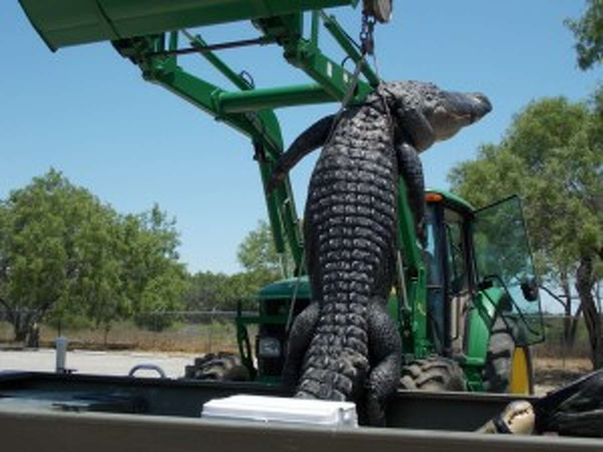 The 14-foot, 3-inch alligator Braxton Bielski took from Choke Canyon Reservoir hangs from a tractor at the James Daughtrey WMA. (Photo courtesy TPWD)