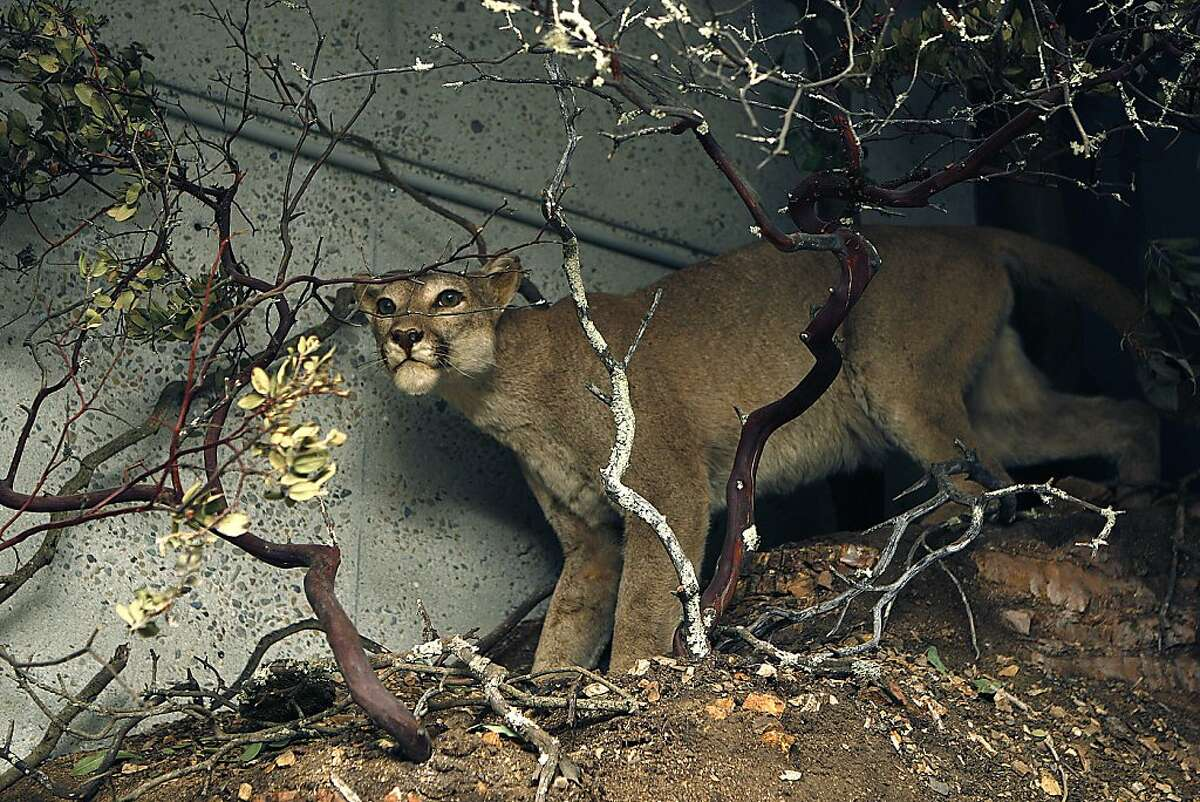 A mountain lion displayed in the Oakland section of the museum in Oakland, Calif., on Wednesday, May 15, 2013.