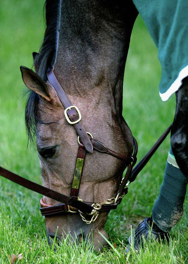 BALTIMORE, MD - MAY 15: Preakness entrant Oxbow grazes following a workout in preparation for the 138th Preakness Stakes at Pimlico Race Course on May 15, 2013 in Baltimore, Maryland.  (Photo by Rob Carr/Getty Images) Photo: Rob Carr