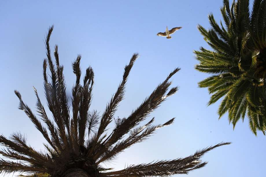 A seagull flies between a Fusarium-infected palm tree (left) and a healthy palm (right) at Justin Herman plaza on the Embarcadero  in San Francisco, Calif., on Tuesday, May 14, 2013.  Several palm trees along the Embarcadero are suffering from a tree fungus disease that is slowly killing them.