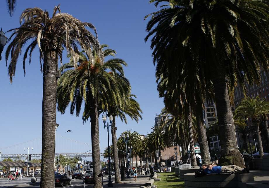 A Fusarium-infected palm tree sits next to healthy palms on the Embarcadero near the Ferry building in San Francisco, Calif., on Tuesday, May 14, 2013.  Several palm trees along the Embarcadero are suffering from a tree fungus disease that is slowly killing them.