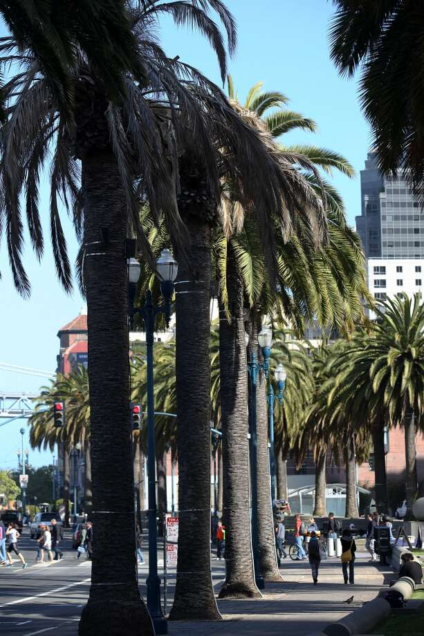 A Fusarium-infected palm tree sits next to healthy palmsl on the Embarcadero near the Ferry building in San Francisco, Calif., on Tuesday, May 14, 2013.  Several palm trees along the Embarcadero are suffering from a tree fungus disease that is slowly killing them.