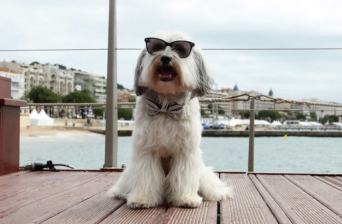 Pudsey the dog attends the photocall for 'Pudsey:The Movie' at The 66th Annual Cannes Film Festival on May 16, 2013 in Cannes, France.