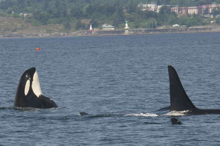 Members of J Pod back in Northwest waters on Wednesday.