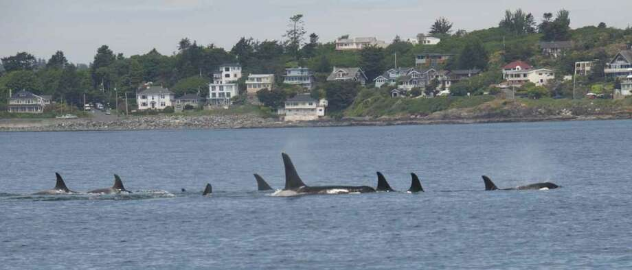 Members of J Pod back in Northwest waters on Wednesday. Photo: (Captain Jim Maya/www.mayaswhalewatch.biz)