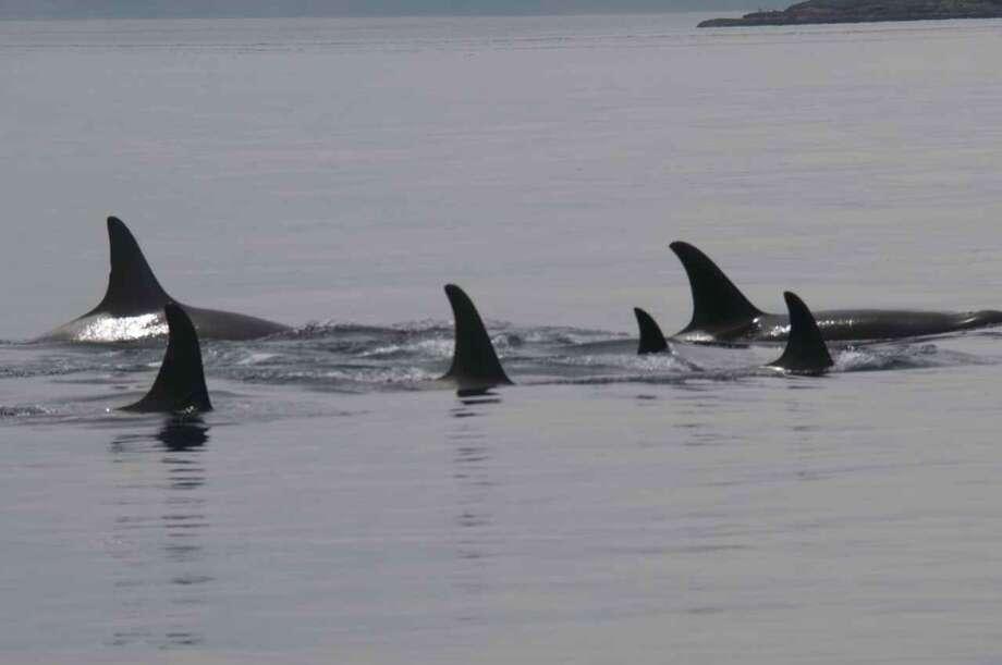 Members of J Pod back in Northwest waters on Wednesday. Photo: (Captain Jim Maya/www.mayaswhalewatch.biz)