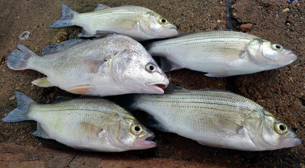 A nice catch of white bass surrounds a two-pound gaspergou that was part of the haul during a early morning trip to Choke Canyon Reservoir where the freshwater drum are a popular side dish to many angler's plates.
